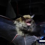 Female Indiana Bat Survey Assessment