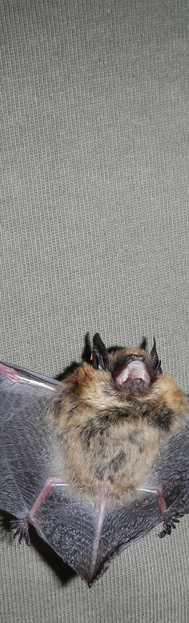 Indiana Bat and Northern Long-eared Surveys and Habitat Assessments
