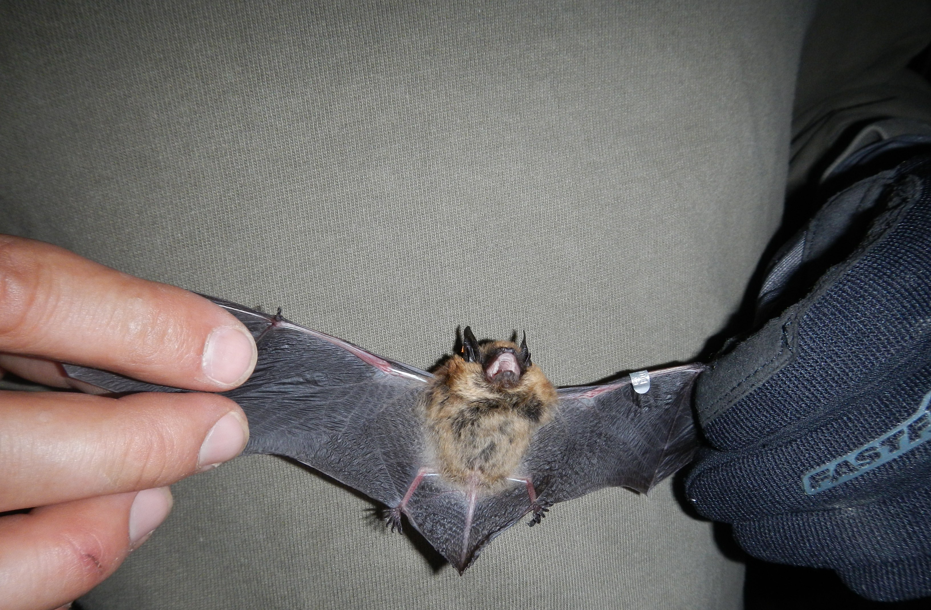 Indiana Bat Surveys Endangered Species
