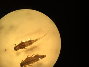 Benthic Macroinvertebrate Survey Collection Analysis